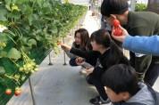광주시 딸기농장, 수확체험 프로그램으로 인기